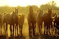 Arabian horses _ herd on meadow _ sunset