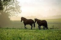 Two Paso Finos with foal on meadow (thumbnail)