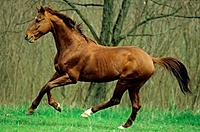 Kisberer horse _ galloping on meadow