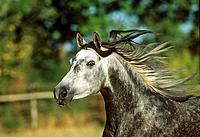 Arabian horse _ portrait