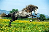 Lusitano on meadow (thumbnail)