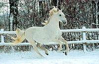Kladruber _ galloping in snow