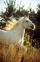Camargue horse _ walking