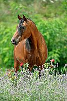 Arabian horse _ standing on meadow