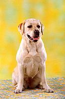 Labrador Retriever _ sitting _ cut out