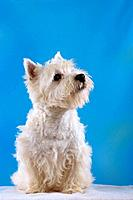 West Highland White Terrier _ sitting _ cut out