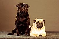 pug _ standing _ cut out
