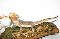 bearded dragon getting grasshopper / Pogona spp.