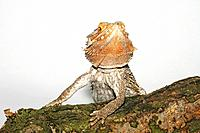 bearded dragon / Pogona spp.