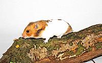 golden hamster / Mesocricetus auratus