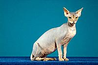 Sphynx cat _ sitting lateral