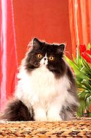 Persian cat _ sitting frontal