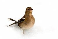 Chaffinch _ in snow / Larus argentatus