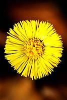 Coltsfoot / Tussilago farfara