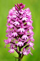 pyramidal orchid / Anacamptis pyramidalis