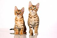 two Bengal kittens frontal _ cut out