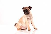 pug _ puppy _ cut out