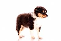 Sheltie puppy _ standing _ cut out