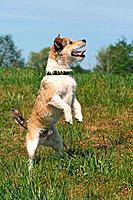 Jack Russell Terrier on hindpaws