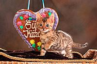 Bengal kitten _ standing in front of gingerbread heart