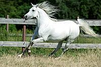 Arabian horse on meadow