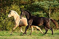 anglo_arabian horse and Akhal_Teke _ walking on meadow
