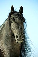 Friesian horse _ portrait