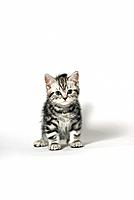 british shorthair kitten _ sitting