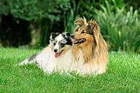 Sheltie and puppy _ lying on meadow