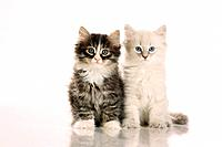 Siberian forest cat _ two kittens sitting _ cut out