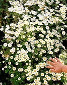 Child´s hand touching white daisies.