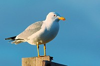 yellow_legged gull _ standing / Larus michahellis