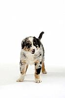Australian Shepherd, puppy, 7 weeks