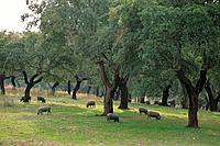 Iberian pigs on the dehesa (rangeland). Sierra de San Pedro. Extremadura. Spain.