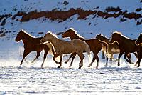 A herd of horses galloping throug the snowy plains of Shell, Wyoming, Usa
