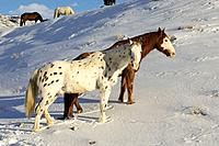 A couple of beautiful painted horses standing on the snow covered hillside in Shell, Wyoming, Usa