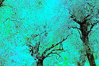 Olive trees,