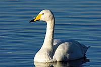 Whooper Swans, Cygnus cygnus, swimming in water