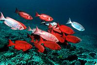Bigeye or Goggle_eye (Priacanthus hamrur).  Changing colour from deep red to silver. Sipadan, Malaysia