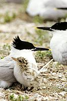 Sandwich tern Colony on North Norfolk Coast