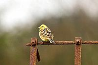 Yellowhammer, emberiza citrinella, male perched on harrow, Norfolk, UK, April