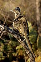 Greater Roadrunner (Geococcyx californianus) - Arizona - Sunbathing -Warming itself by erecting feathers to allow sun to strike directly on black skin...
