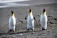 King penguins (Aptenodytes patagonicus) on beach. Gold Harbour, South Georgia