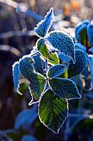 frosty leaves Brecon Beacons Powys Wales