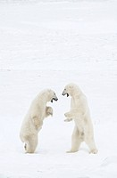 Canada, Manitoba, Churchill, two Polar Bears sparring