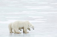 Canada, Manitoba, Churchill, female Polar Bear with two cubs standing on ice, side view