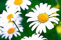 Shasta daisies Leucanthemum x superbum