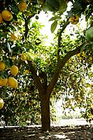 Lemon tree, close_up