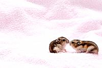 Two Dzhungarian hamsters Phodopus sungorus on towel, studio shot