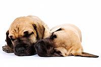 Great Dane puppies sleeping side by side in studio